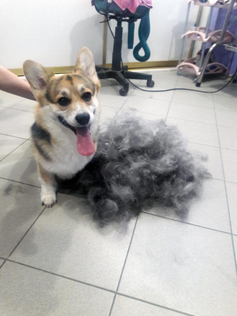 Собака линяет и похудела
